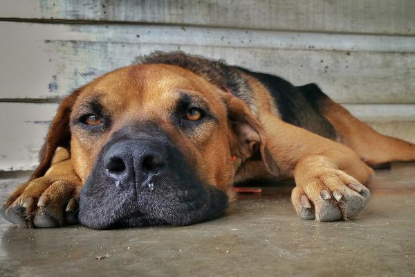 Hunde Liebeskummer: Vierbeiner liegt auf dem Boden und guckt traurig