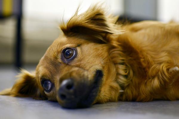 Hunde Liebeskummer: Hund liegt traurig auf dem Boden