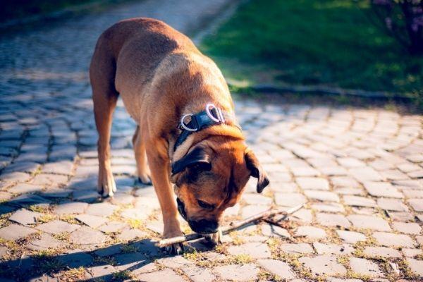 Mallorca Schäferhund