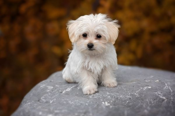 Nicht haarende Hunderassen: Malteser auf einem Stein