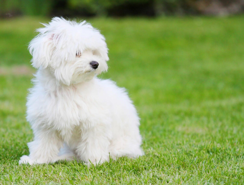 Beim Malteser ist ein regelmäßiger Besuch des Hundefriseurs von Vorteil