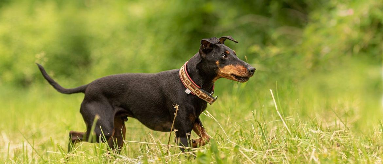 Manchester Terrier in der Natur