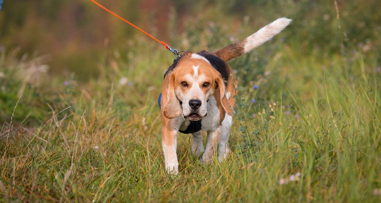 Mantrailing Beagle