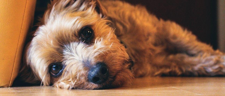 Megaösophagus: Hund mit traurigem Blick legt seinen Kopf auf den Boden