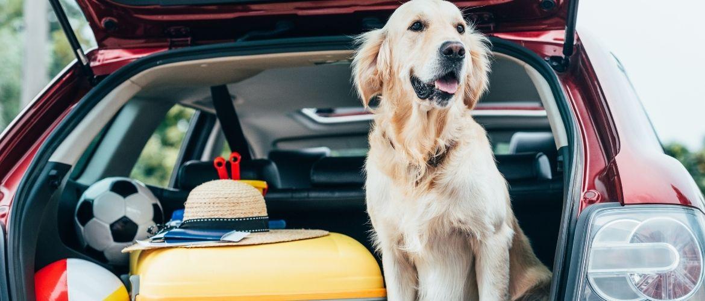 Mittelgroße Familienhunde: Hund sitzt im vollgepacktem Kofferraum eines roten Autos