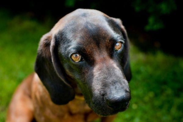 Montenegrinischer Gebirgslaufhund Aussehen