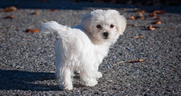 Nicht haarende Hunderassen: Malteser von der Seite