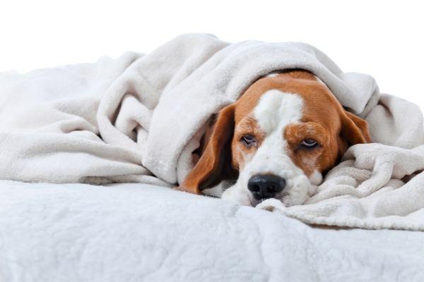 Hund am Liegen umhüllt von einer Decke
