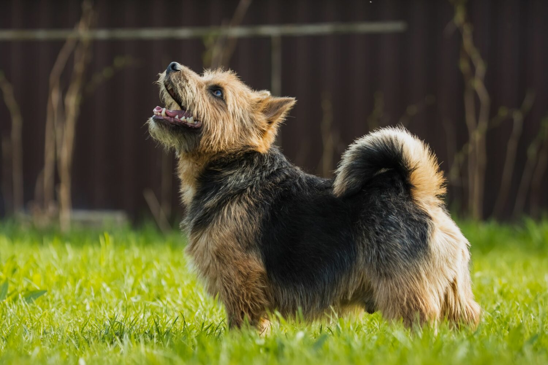 Norwich Terrier sind unkompliziert, trotzdem sollte die Anschaffung gut überlegt sein