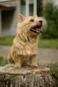 Der Norwich Terrier zeichnet sich durch seinen liebenswerten Charakter aus