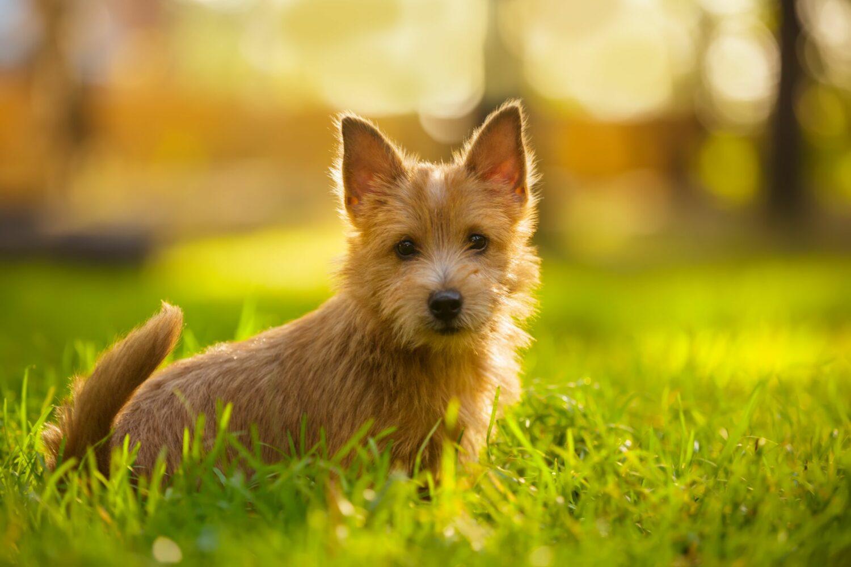 Die Erziehung des Norwich Terriers sollte schon als Welpe beginnen