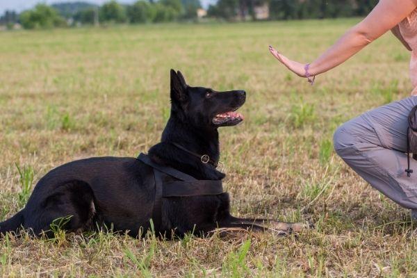 Obedience: Hund auf einer Wiese