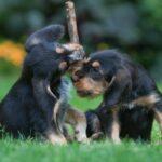 Otterhound Welpen