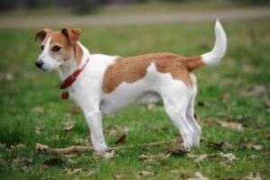 Parson Russell Terrier sind sehr gesund