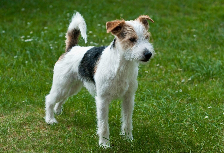 Parson Russell Terrier auf Wiese