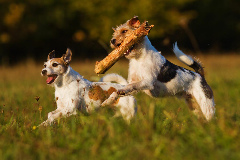 Parson Russell Terrier sind voller Energie und müssen ausgelastet werden