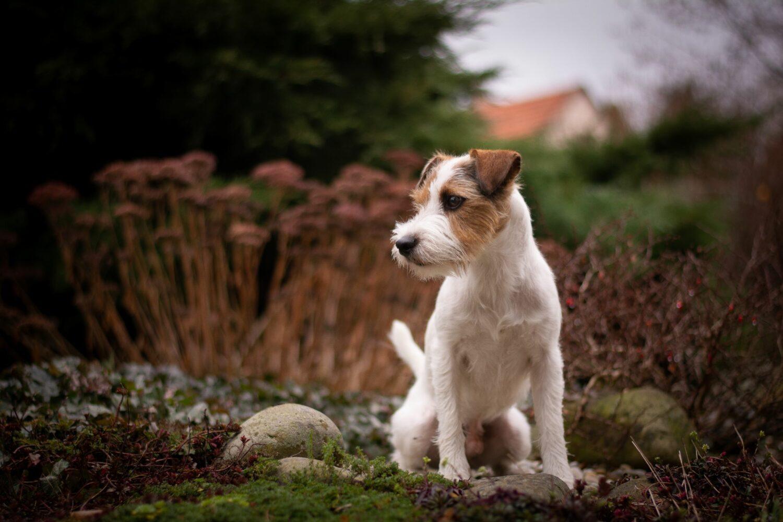 Parson Russell Terrier sind sehr gesund, da dies bei der Zucht Priorität hat