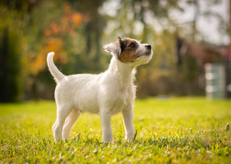 Die Erziehung des Parson Russell Terriers sollte schon im Welpenalter beginnen