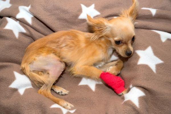 Patellaluxation: Hund liegt verletzt auf einer Decke