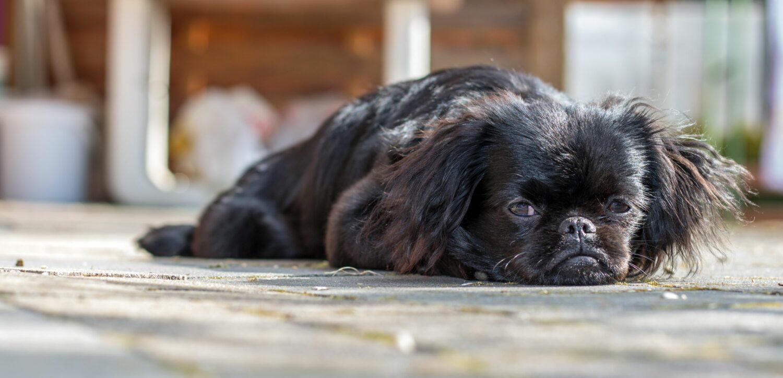 Der Pekinese ist ein ruhiger Schoßhund