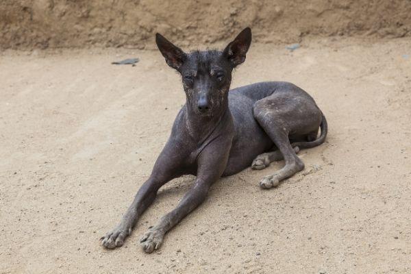 Peruanischer Nackthund im Liegen