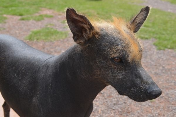 Peruanischer Nackthund Kopf