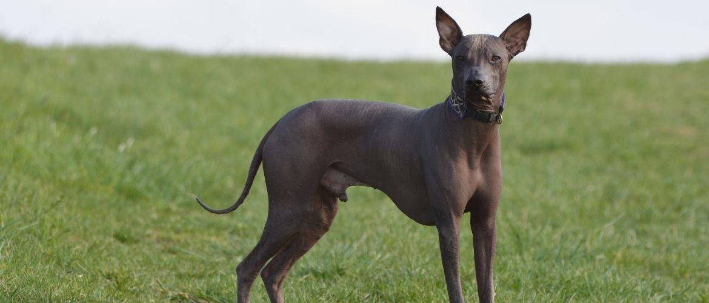 Peruanischer Nackthund von der Seite
