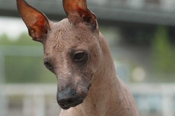 Peruanischer Nackthund von vorne