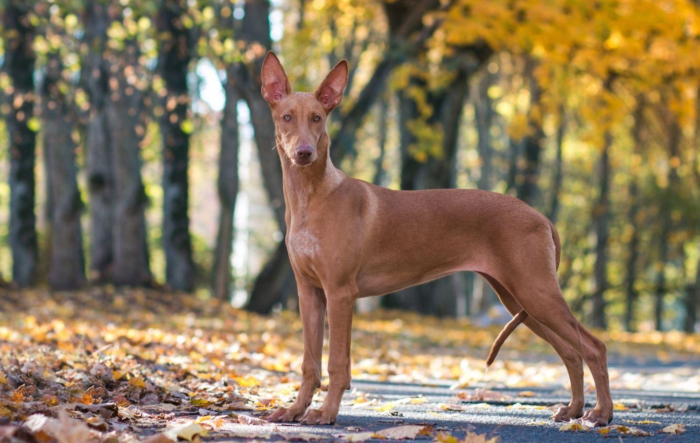 Pharaoh Hound in der Natur