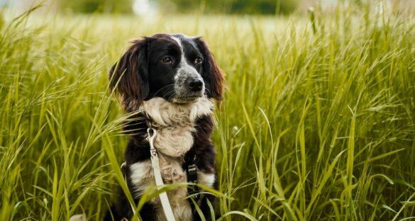 Pollenallergie: Hund in einem Feld voller Gräser