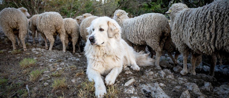 Pyrenäenberghund mit Schafen