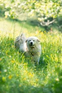 Pyrenäenberghund Welpe