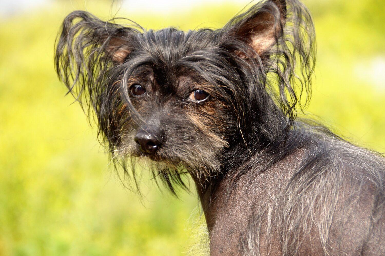Qualzucht bei Hunden: Chinesischer Schopfhund
