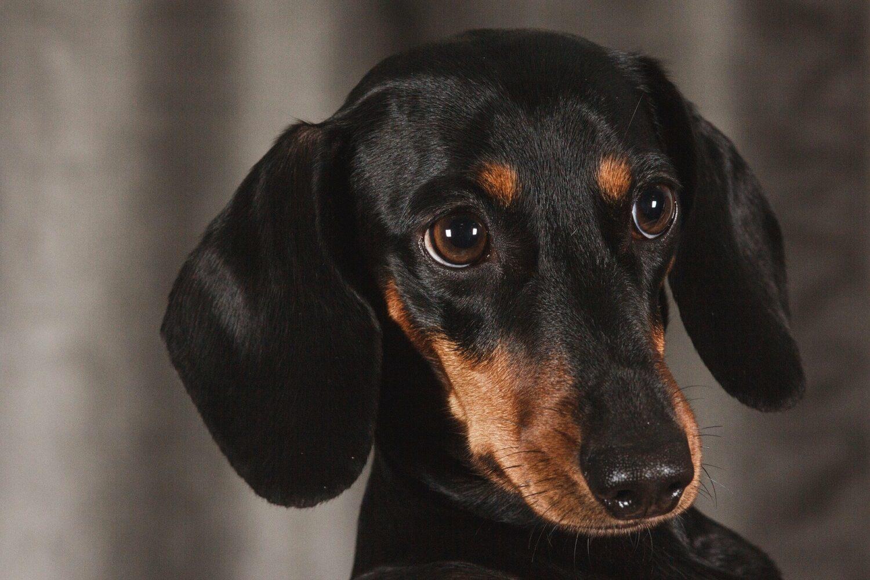 Qualzucht bei Hunden: Schwarzer Dackel