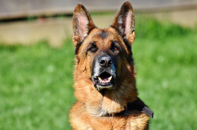 Qualzucht bei Hunden: Deutscher Schäferhund