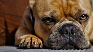 Qualzucht bei Hunden: Französische Bulldogge