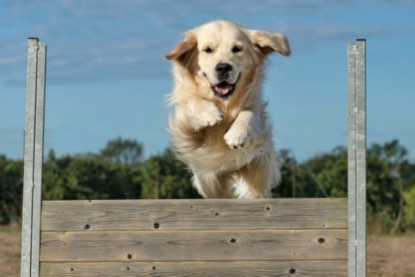 Hund im Sprung