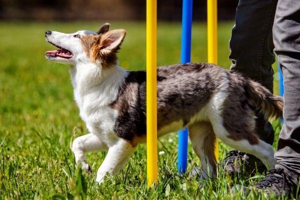 Rally Obedience: Hund durchläuft Slalom Parcours