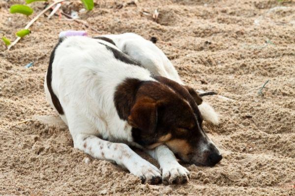 Bauchschläfer als Schlafposition beim Hund