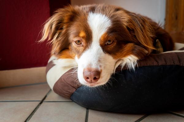 Schonkost: Hund liegt in seinem Körbchen