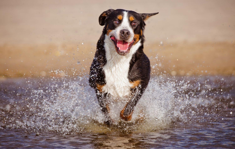 Schweizer Sennenhund im Wasser