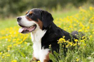 Schweizer Sennenhund von der Seite