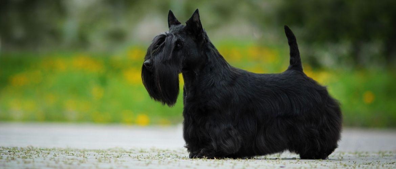 Scottish Terrier von der Seite