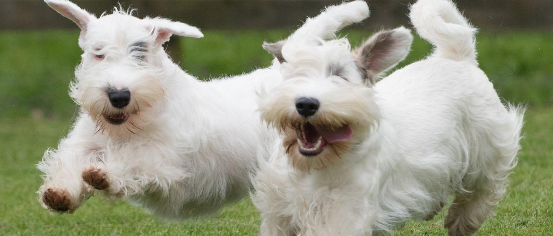 Sealyham Terrier im Auslauf