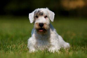 Sealyham Terrier im Portrait