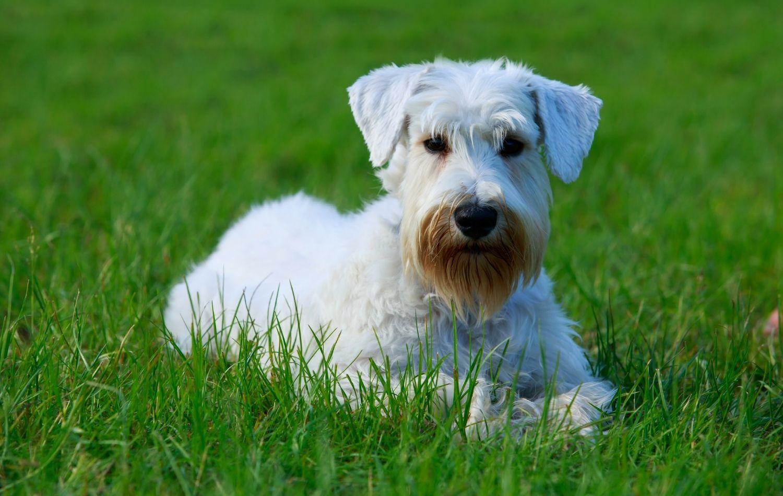 Sealyham Terrier im Rasen