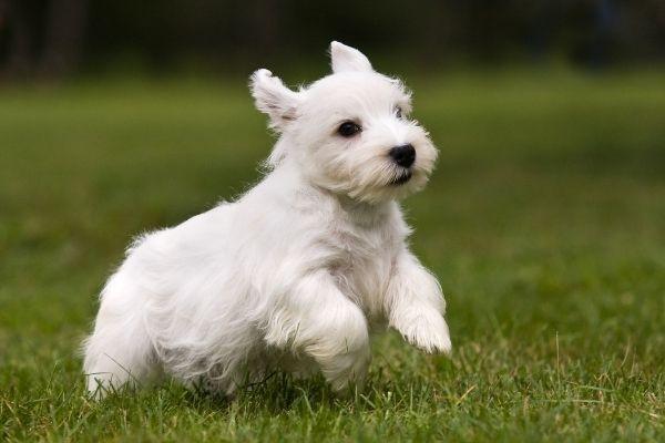 Sealyham Terrier Welpe