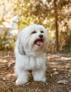 Der Shih Tzu ist ein guter Familienhund