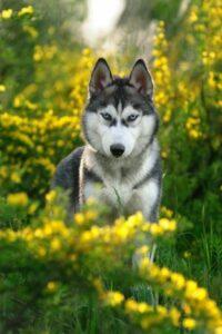 Siberian Husky im Rasseportrait