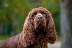 Sussex Spaniel im Portrait